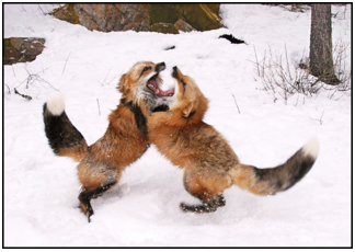 Two Montana red foxes fighting in the winter snow