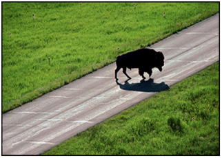 The silhouette of a bison crossing a road in Yellowstone National Park, Wyoming