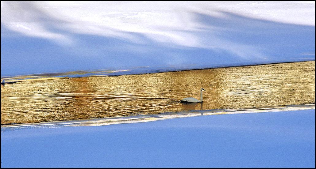 """Raymond Gehman, """"Trumpeter Swan"""", Yellowstone National Park, Wyoming"""