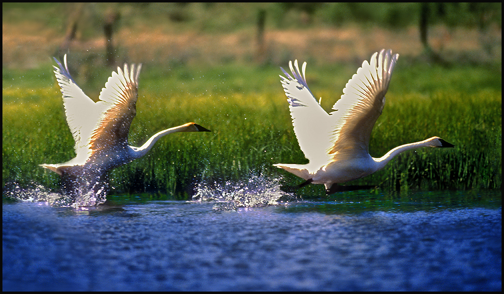 "Raymond Gehman, ""Trumpeter Swans"", Yellowstone National Park, Wyoming"