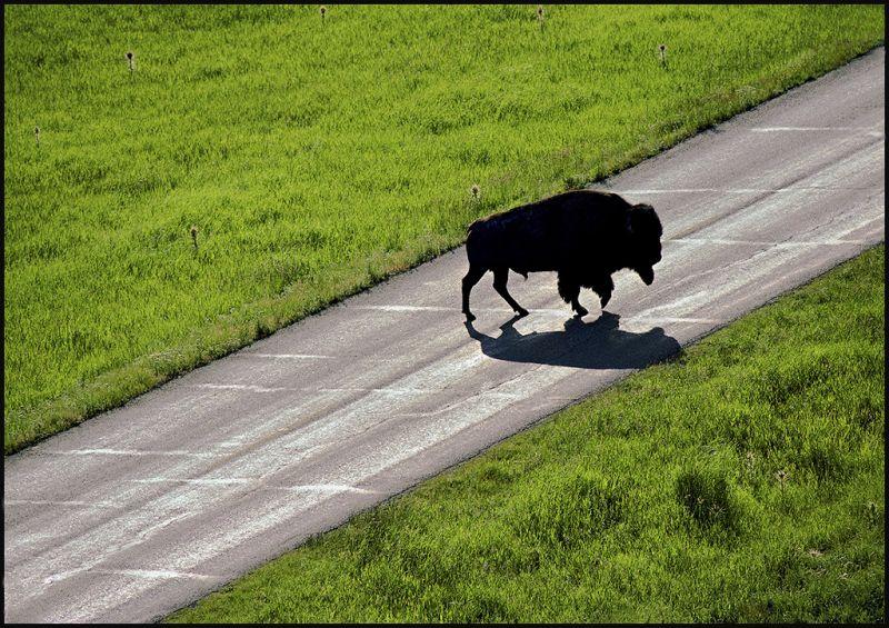 "Raymond Gehman, ""Bison on Lamar Valley Road"", Yellowstone National Park, Wyoming"