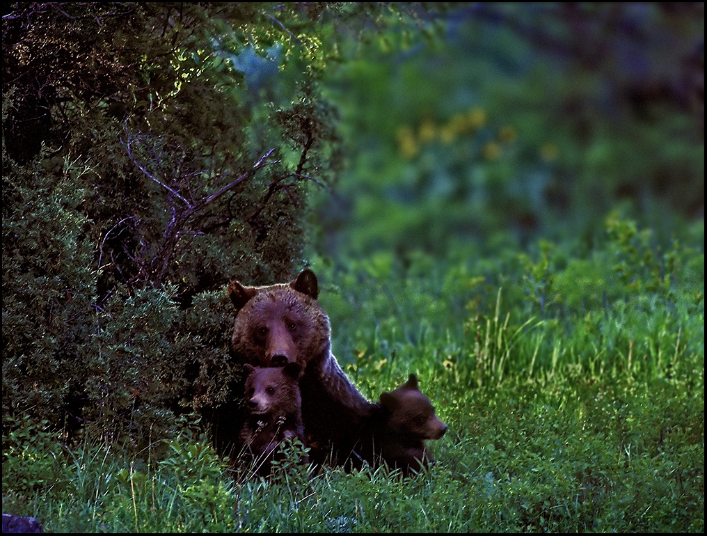 "Raymond Gehman, ""Grizzly With Two Cubs"", Yellowstone National Park, Wyoming"