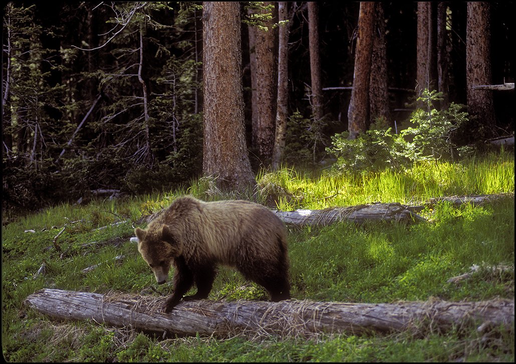 "Raymond Gehman, ""Grizzly Bear Foraging"", Yellowstone National Park, Wyoming"