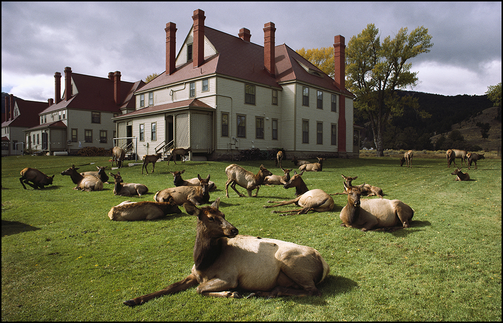 "Raymond Gehman, ""Elk Herd At Yellowstone National Park Headquarters"", Yellowstone National Park, Wyoming"