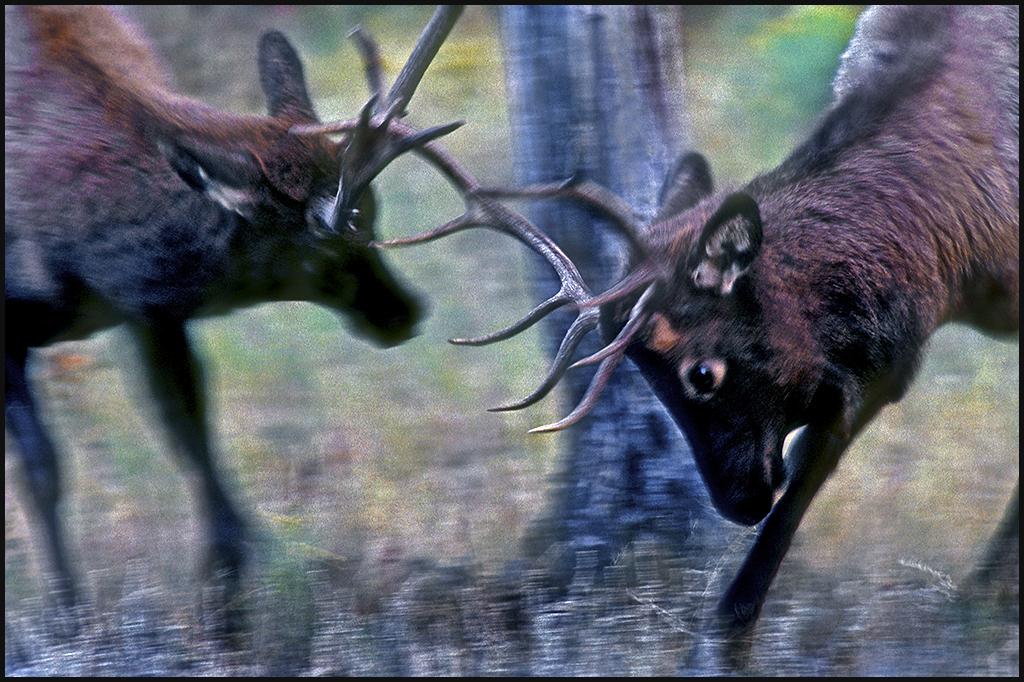 "Raymond Gehman, ""Autumn Elk Rut"", Yellowstone National Park, Wyoming"