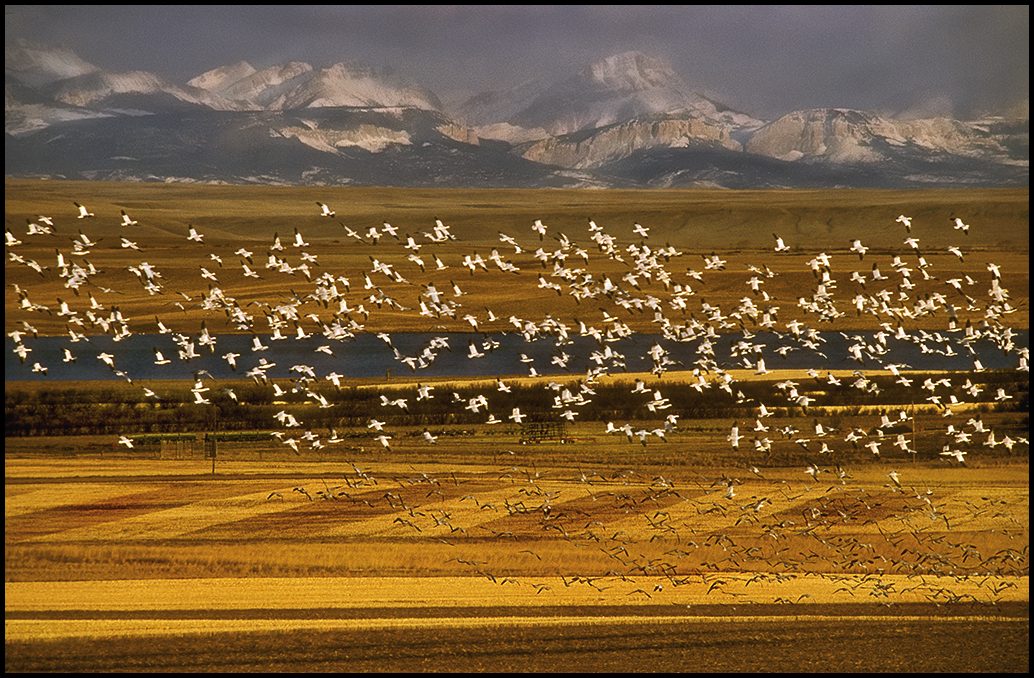 "Raymond Gehman, ""Geese And Barley"", Chateau Mt. Rocky, Mt. Fort"