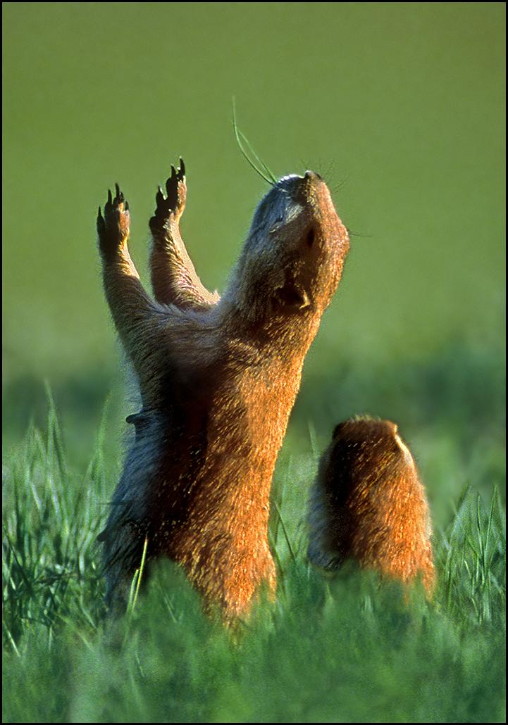 "Raymond Gehman, ""Prairie Dogs Jumping"", Yellowstone National Park, Wyoming"