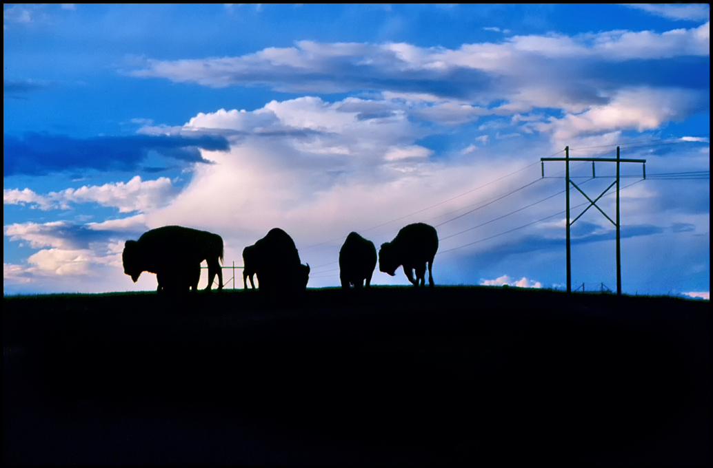 "Raymond Gehman, ""Bison Range"", Montana"