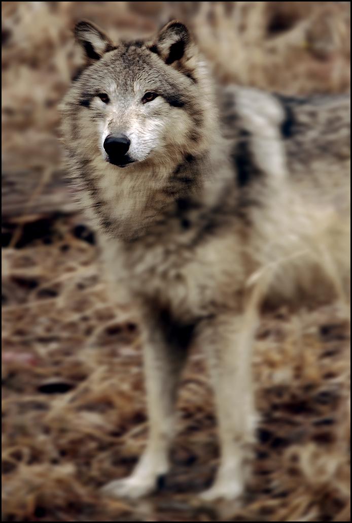 """Raymond Gehman, """"Wolf Portrait"""", Montana"""