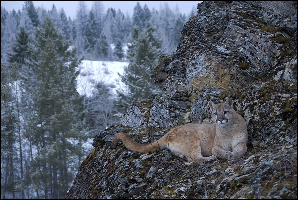 "Raymond Gehman, ""Game Ranch Mountain Lion"", Montana"