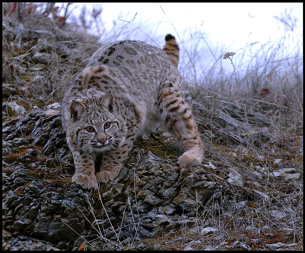 """Raymond Gehman, """"Bobcat Kitten"""", Montana"""