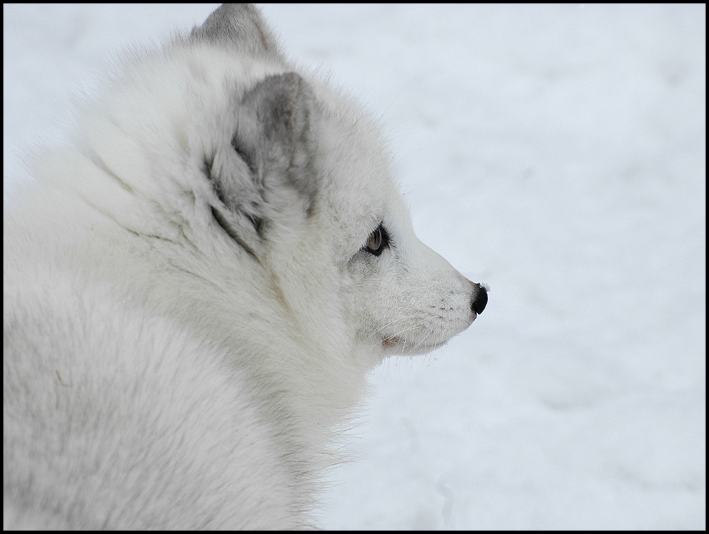 "Raymond Gehman, ""Arctic Fox"", Montana"