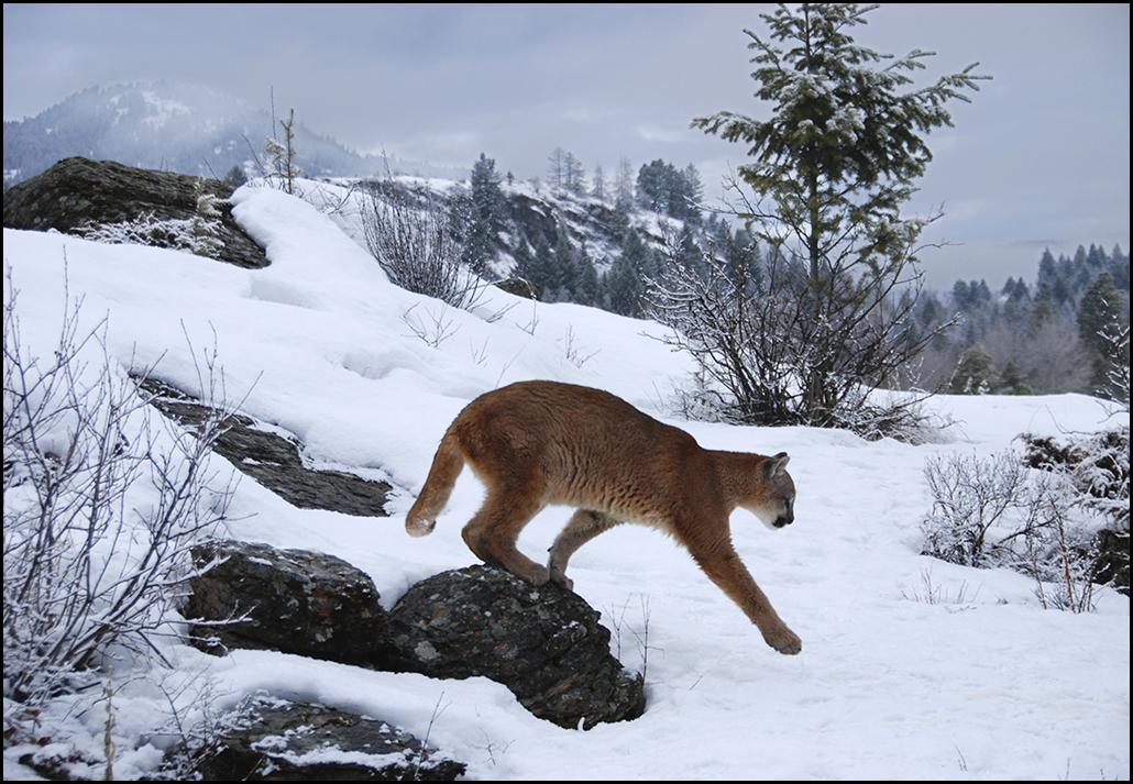 "Raymond Gehman, ""Mountain Lion"", Montana"